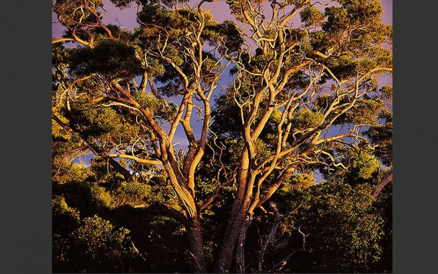 """Sunset Koa Tree, Hawaii"", 1996, © Christopher Burkett"