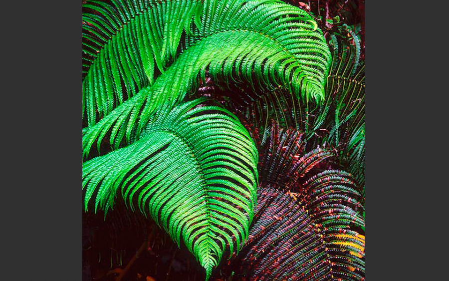 """Cascading Ferns, Hawaii"" 1996, © Christopher Burkett"