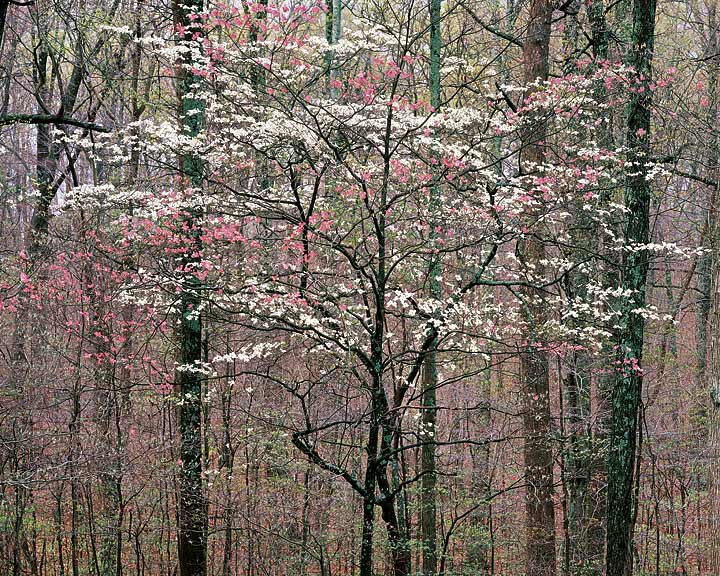 """Pink and White Dogwoods"""