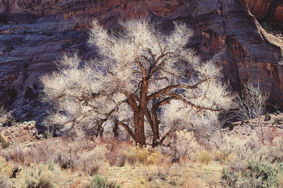 Cottonwood and Light